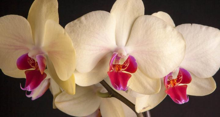 white orchids with red buds