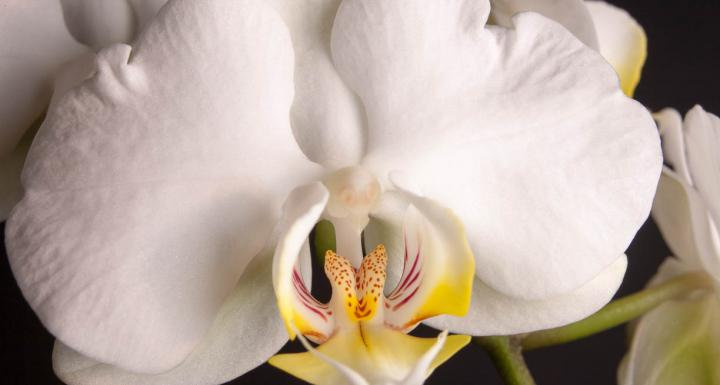 orchid white with yellow bud